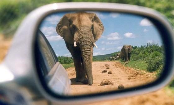 Tailgating Elephant